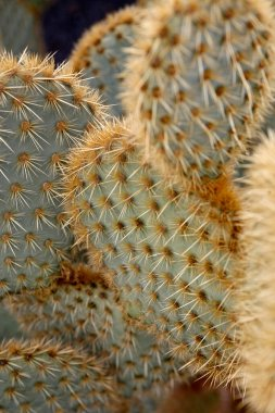 the Cactus Garden in the village of Guatiza on the Island of Lanzarote on the Canary Islands of Spain in the Atlantic Ocean.  Spain, Canary Islands, Lanzarote, February, 2008