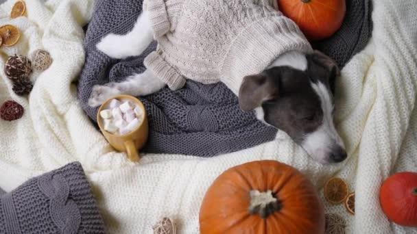 Horní pohled na ospalého pejska ve vlněném svetru chlazeného vedle teplého nápoje se suflé a dýněmi na pleteném oblečení. Pomalé tempo života v podzimní sezóně jako způsob, jak relaxovat