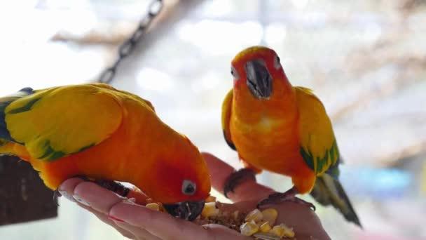 Rukou chovu a krmení papoušků - koncept péče o zvířata
