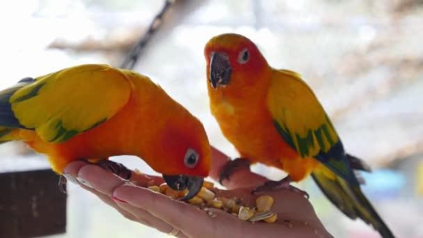 Pestré papoušci sedí a jíst na lidská ruka