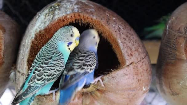 Two Beautiful Blue Parrots Kissing. Closeup.