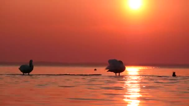 Swans cleaning plumage in waters at sunset time lapse against sun