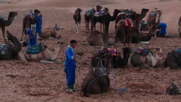 December 15 2015 Morocco, Sahara desert. Bedouins prepare camels for travel - few video sequence