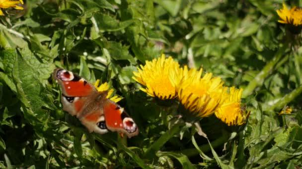 Krásný paví oko výdeje nektar z pampelišky - rod Inachi