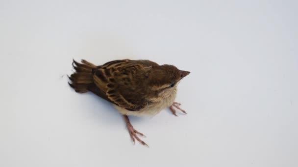 Passero di albero euroasiatico uccello