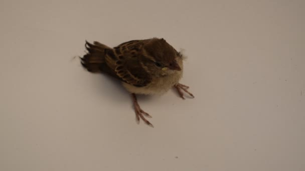 Vogel eurasischer Baumsperling