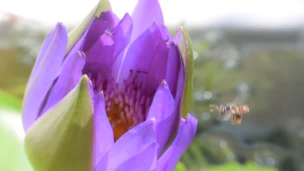 Lila lótusz virág a MEH