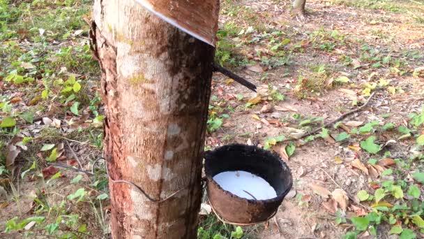 hevea brasiliensis und latex in thailand