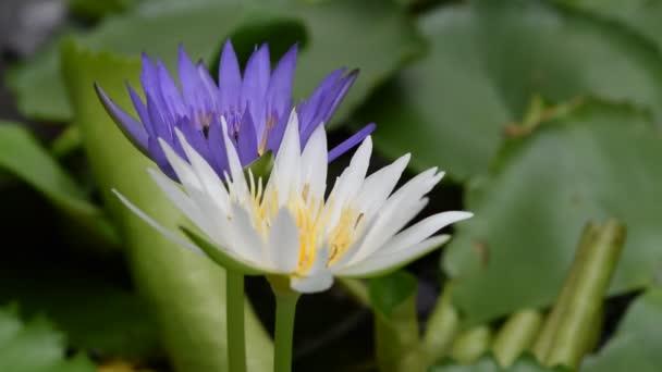 Lótusz virág a MEH