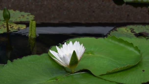 gyönyörű lótuszvirág
