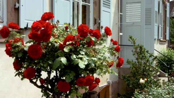 Vivid red roses flowering in the little garden. Alsace, France.