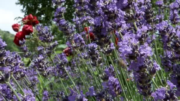 Levendula virágzás a kis kertben. Alsace, Franciaország. Sok méhek és darazsak a virágok felett.