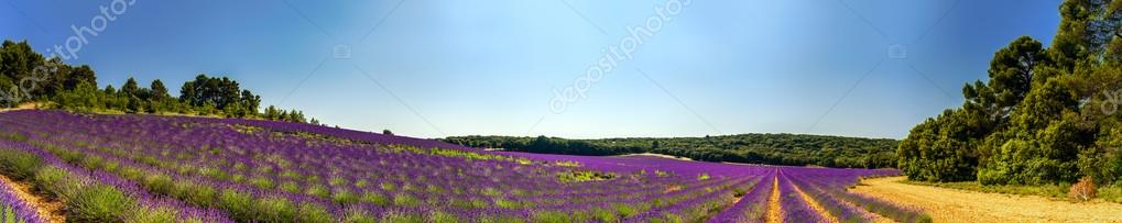 Lavender field panoramic view in Provence, France