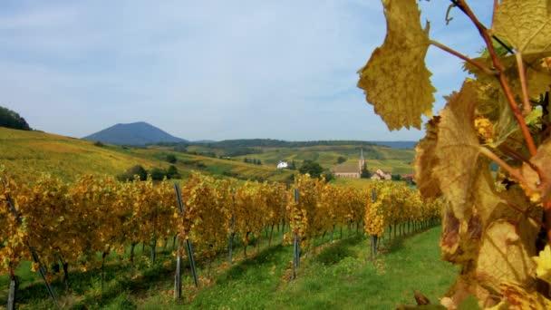 Barevné hroznové listy na slunci, sezóna koncept, Alsasko, Francie
