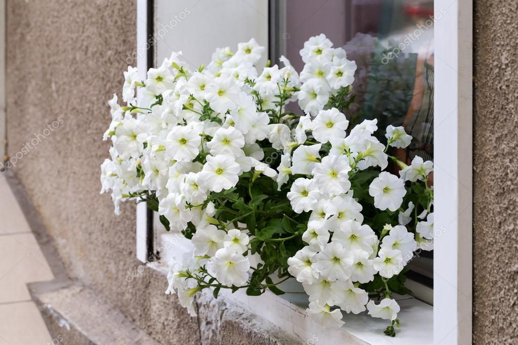 Authentic White Flowers In The Open Window In The Wall Of The Ho