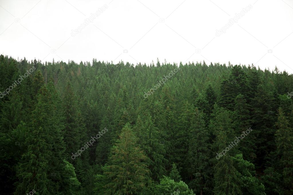 Фотообои coniferous forest on a steep mountain slope in the Carpathians, Ukraine