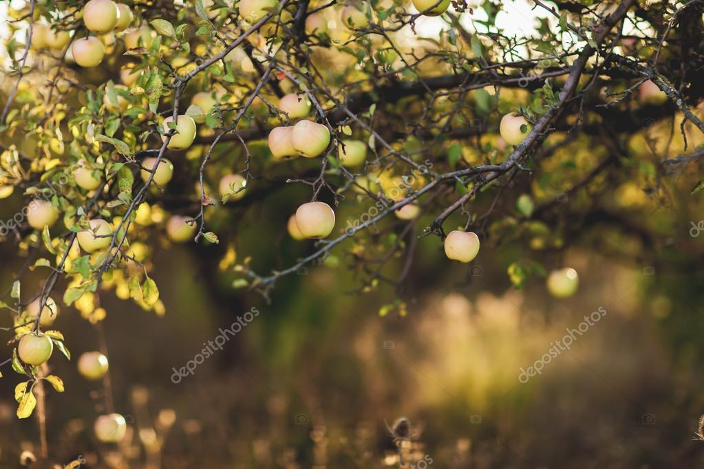 Apples on apple tree branch