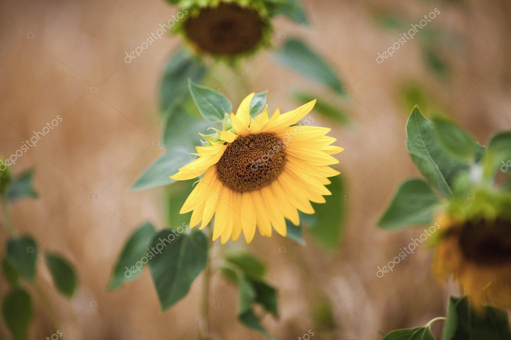 Tuscany sunflowers in nature