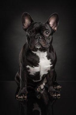 French bulldog over black background