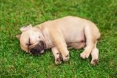 Photo little sleeping French bulldog puppie