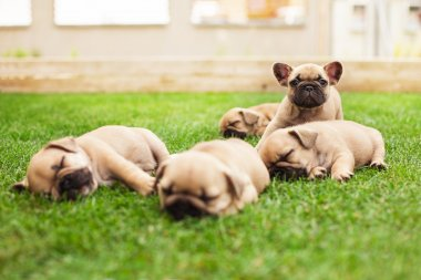 little sleeping French bulldog puppies