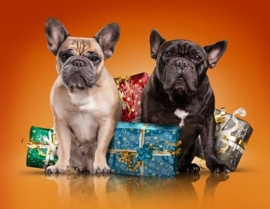 French bulldogs with christmas gifts
