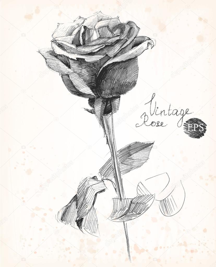 Dibujo A Lápiz Dibujado A Mano De Una Rosa Ilustración De Vector De