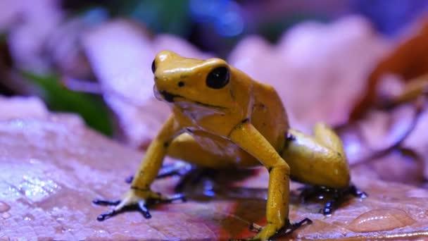 Golden Gift Dart frog