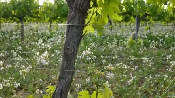 Vinice polí při západu slunce révy Closeup