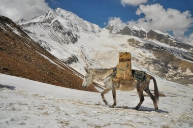 Mule in Himalayas