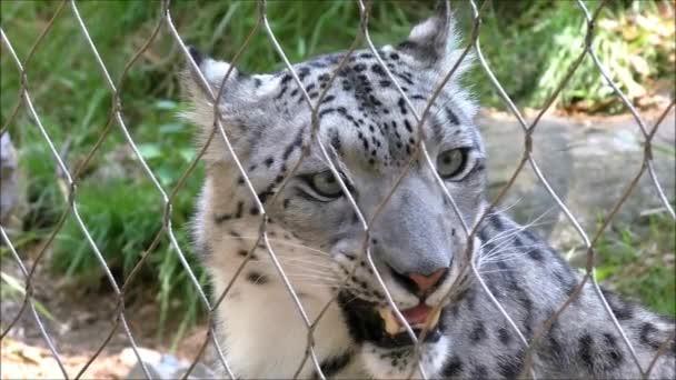 Snow Leopard in Captivity