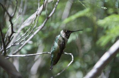 Hummingbird at the Arizona-Sonora Desert Museum south of Phoenix Arizona USA