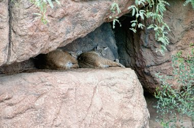 Wild cats in the Arizona Sonora Desert National Monument near Phoenix Arizona