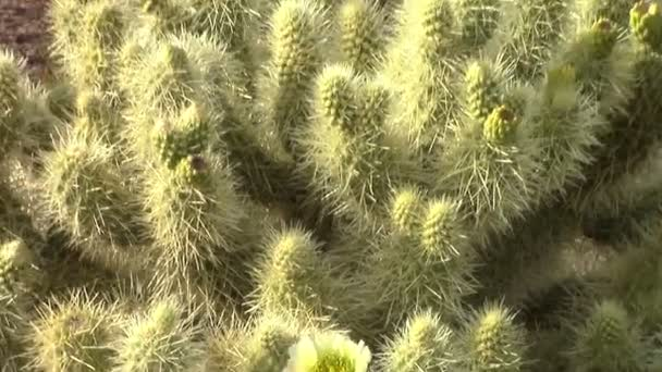 Cholla Cactus Bloom zoom out and Saguaro Cacti