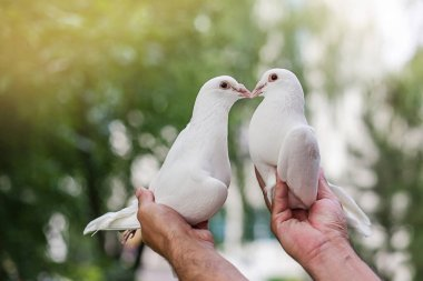 Two loving white Pigeons in male hands on natural green background