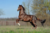 Beautiful brown horse galloping across the field