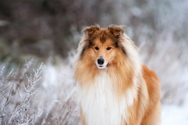 Portrait of a beautiful red fluffy dog collie