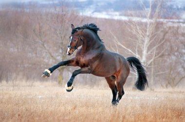 Beautiful brown horse racing galloping across the field