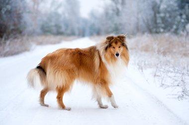 Fluffy dog collie