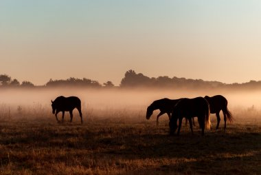 Herd of horses in fog