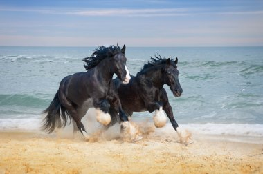 Horses breed Shire gallop at the beach