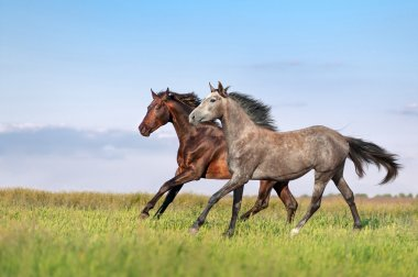 Beautiful horses galloping across the field