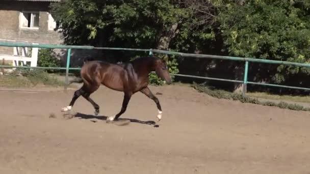 Arabské koně, čisté a lesklé