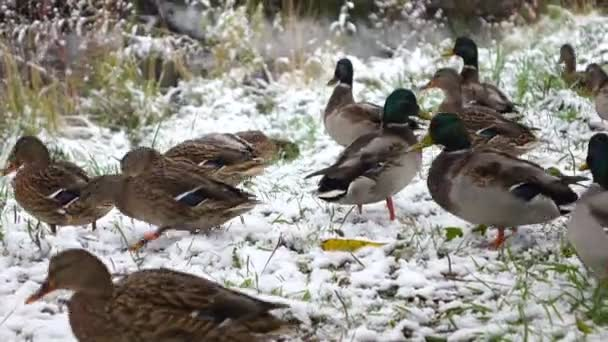 Ducks on snow-covered grass