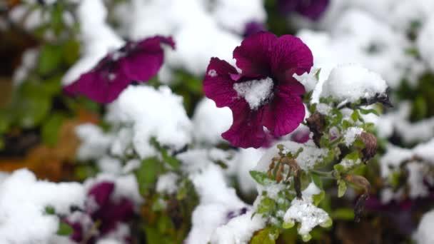 Fialové květy se sněhem