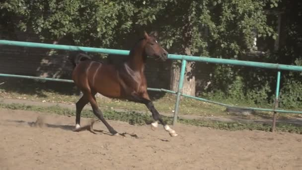 Prancing horse on the sand slow motion video