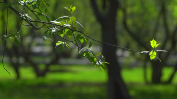The branch of cherries with leaves first