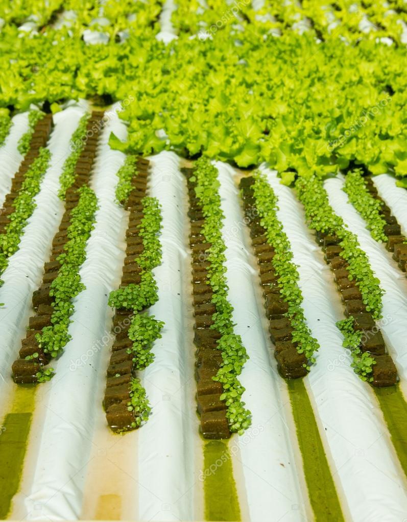Plantas peque as de berros en cultivo hidrop nico foto - Plantas de interior pequenas ...
