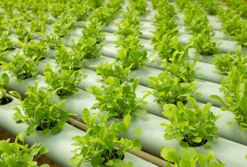 Gemeinsame Rucola-Pflanzen, die wachsen in hydroponischen Kultur — Stockfoto #YO_78