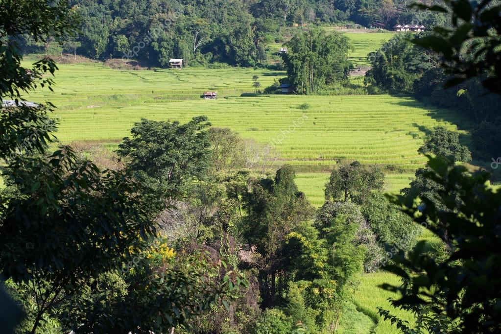 Campos De Arroz Verde Terraza De Cultivo De Agricultura